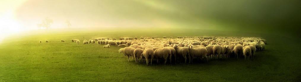 odporność stada
